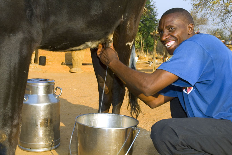 Dairy project – Farmer milking his dairy cow, Zambia