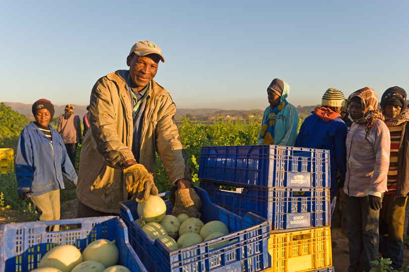 Farmers harvesting watermelons, Namibia