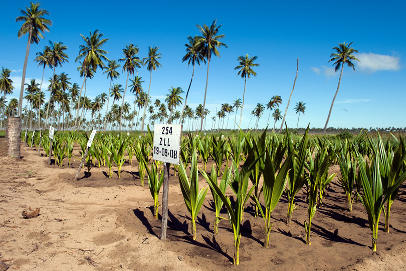 Coconut hybrid and dwarf varieties bred for resistance <p>to Lethal Yellowing Disease, Mozambique