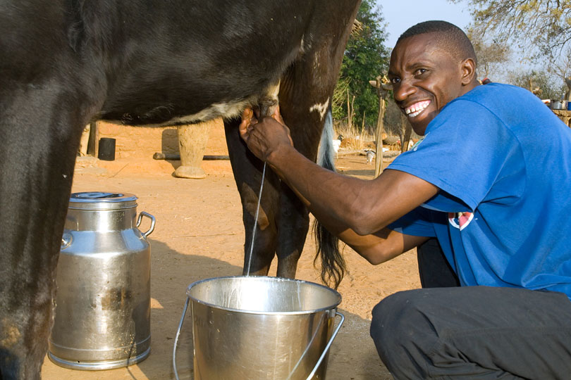 Dairy cows need to be milked twice a day <p>to maintain proper milk production