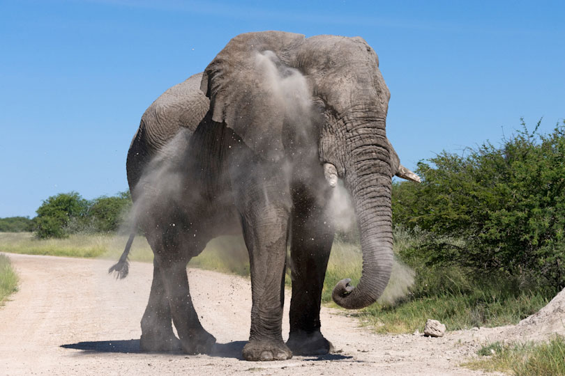 African elephant splattering itself with dust, Etosha National Park, Namibia