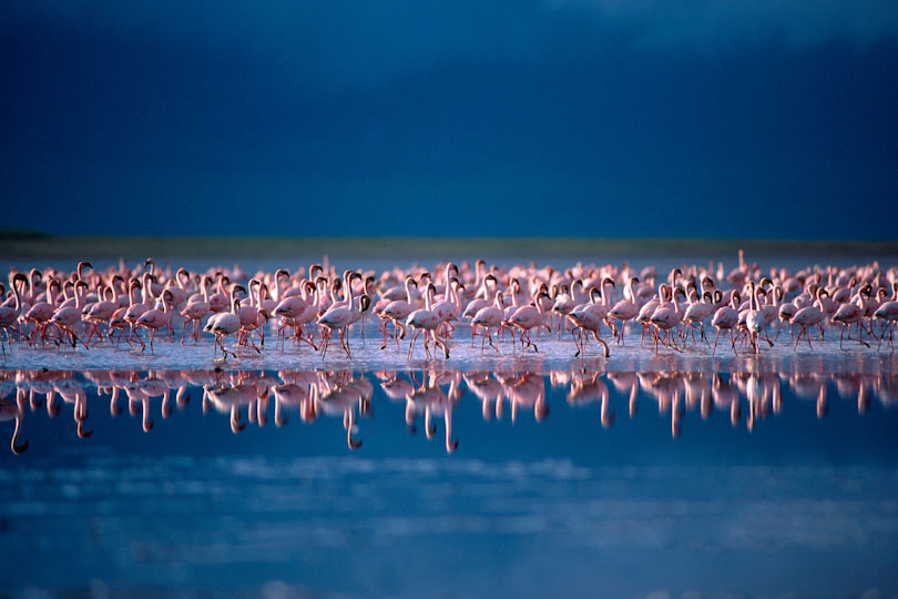 Lesser flamingos in Lake Magadi, Ngorongoro Crater, Tanzania